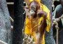 Mezinárodní den orangutanů