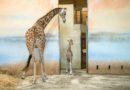 Žirafí samička narozená v pátek už skotačí se zbytkem stáda